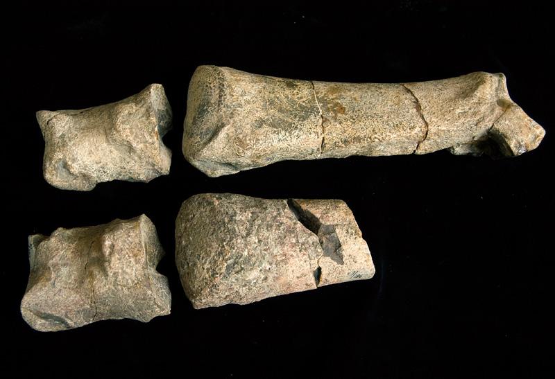 http://museum.ge/files/colection/sabunebismetyvelo/paleontologia/24_1_Anthracotherium-kwablianicum.jpg