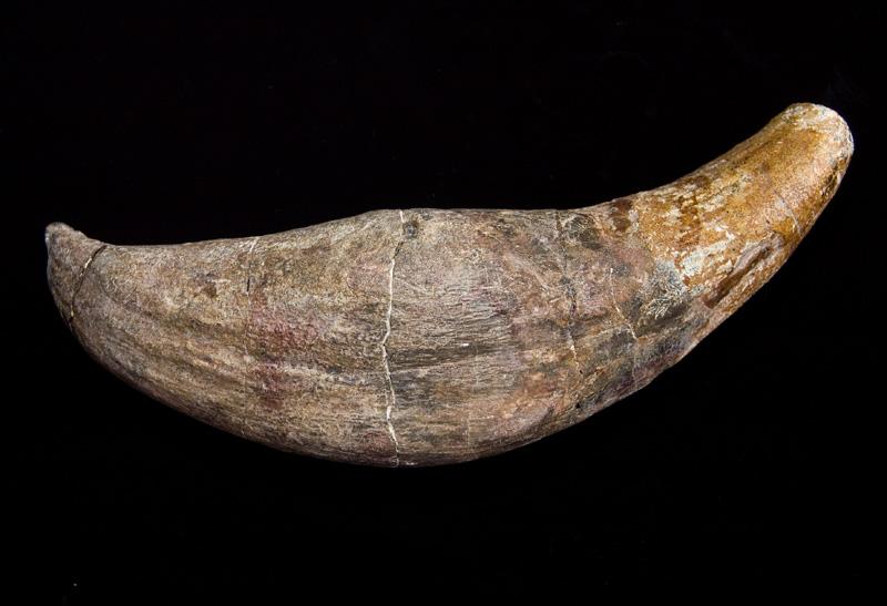 http://museum.ge/files/colection/sabunebismetyvelo/paleontologia/25_1_Paraentelodon-intermedium.jpg