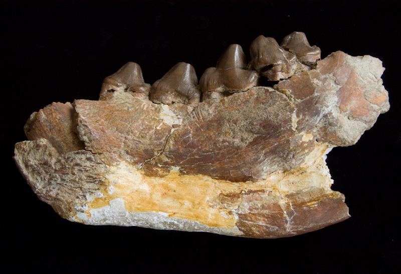http://museum.ge/files/colection/sabunebismetyvelo/paleontologia/27_1_Hyaena-eldarica.jpg