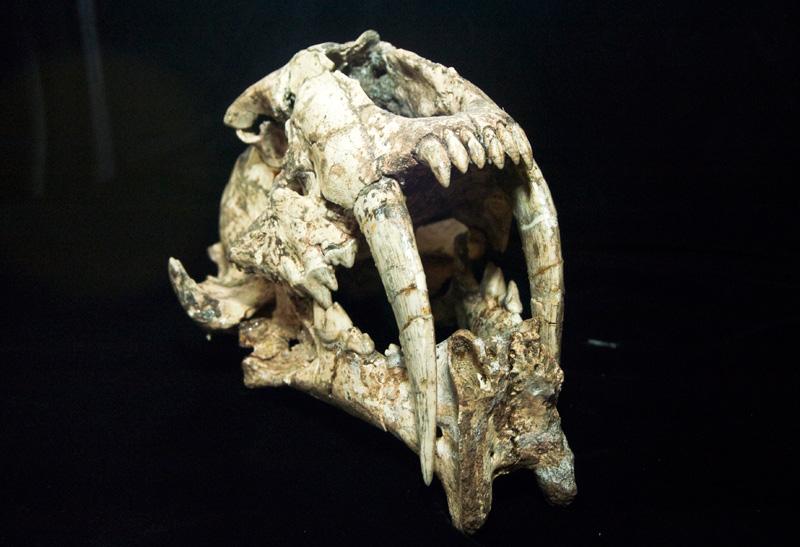 http://museum.ge/files/colection/sabunebismetyvelo/paleontologia/3_1_Megantereon-megantereon.jpg