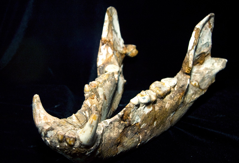http://museum.ge/files/colection/sabunebismetyvelo/paleontologia/5_2_Ursus-etruscus.jpg