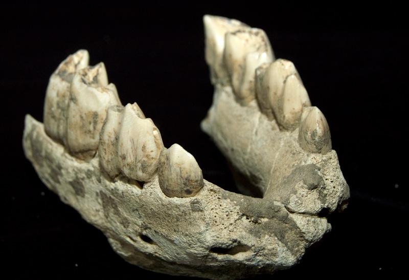 http://museum.ge/files/colection/sabunebismetyvelo/paleontologia/9_1_Stephanorhinus-etruscus.jpg